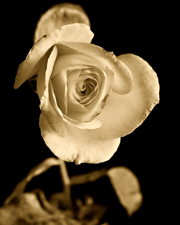 Sepia Antique Rose Photograph