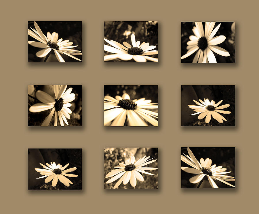 Sepia Daisy Flower Series Photograph
