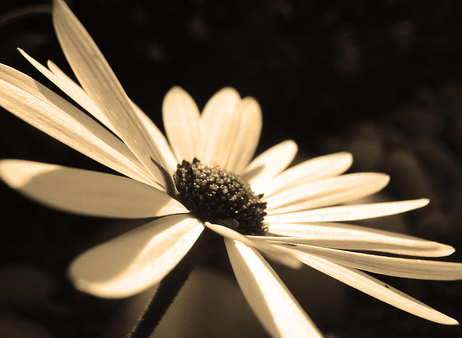 Sepia Daisy Flower Photograph  - Sepia Daisy Flower Fine Art Print