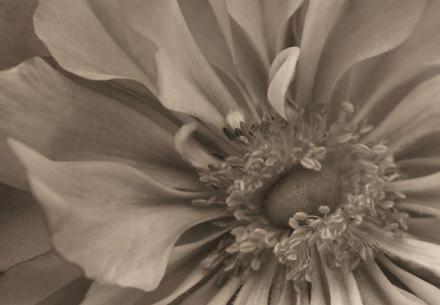Sepia Floral Photograph  - Sepia Floral Fine Art Print