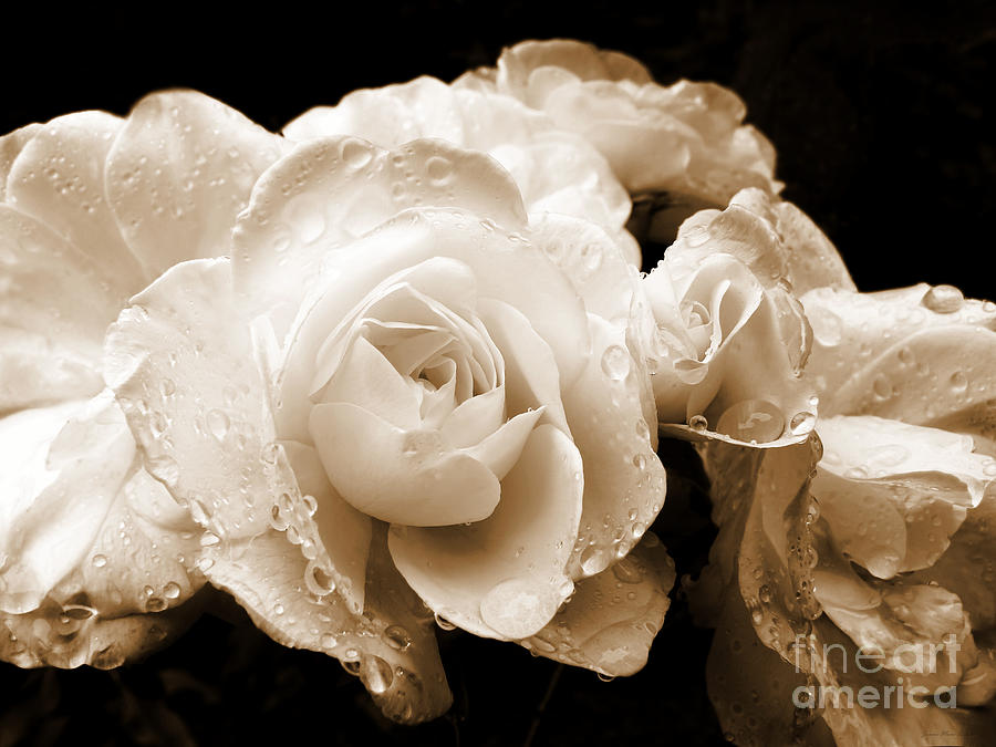 images of roses with rain drops. Sepia Roses with Rain Drops Photograph - Sepia Roses with Rain Drops Fine