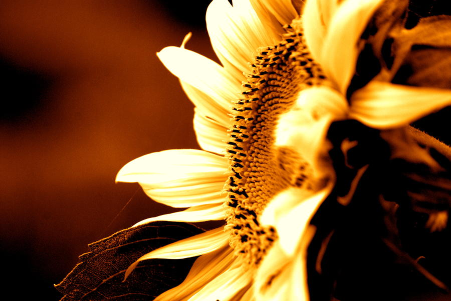 Sepia Sunflower Photograph