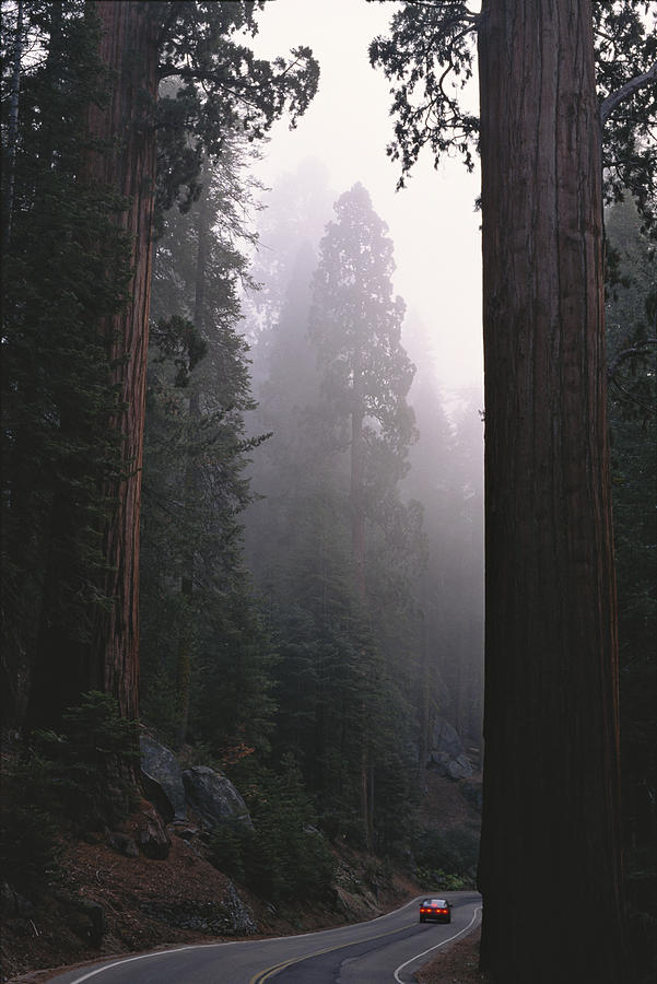 Sequoia Trees Dwarf A Car Traveling Photograph