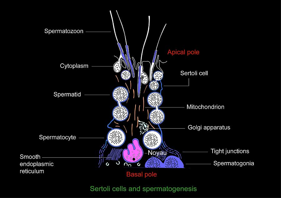 Sertoli Cells, Diagram Photograph