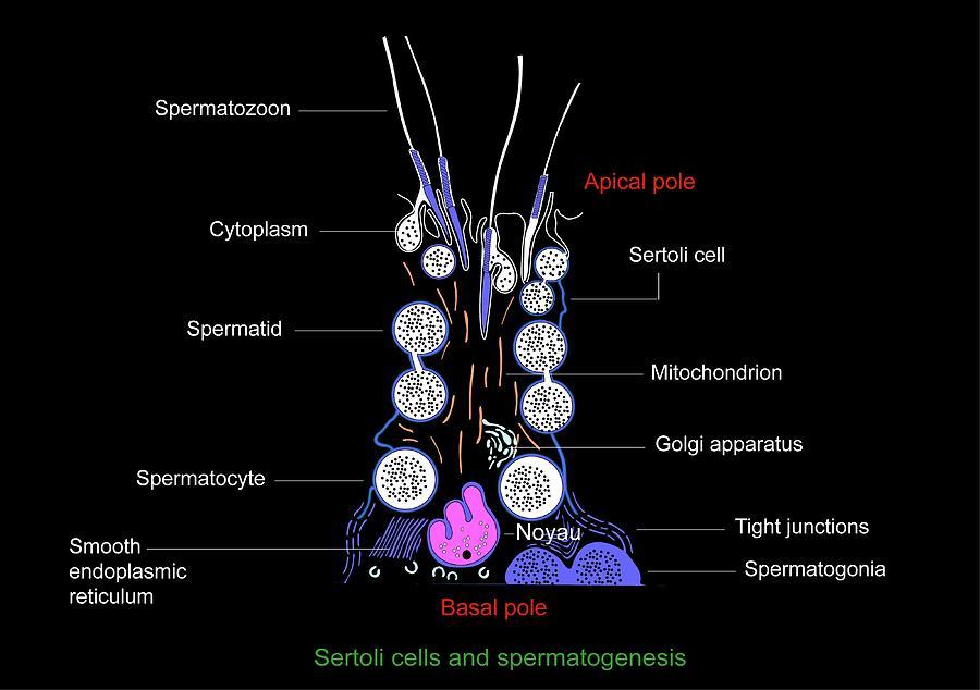 Sertoli Cell Photograph - Sertoli Cells, Diagram by Francis Leroy, Biocosmos