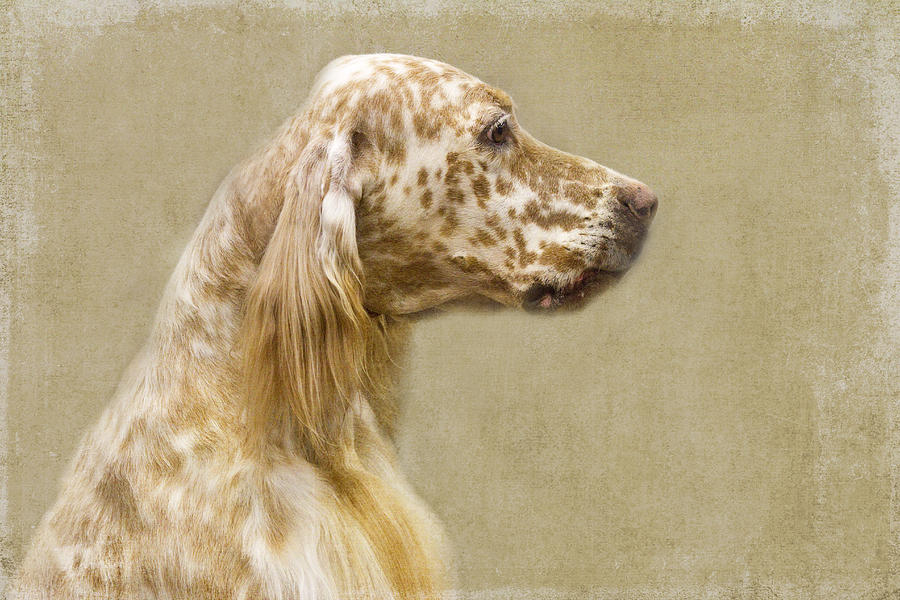 Setter Photograph - Setter 2 by Rebecca Cozart
