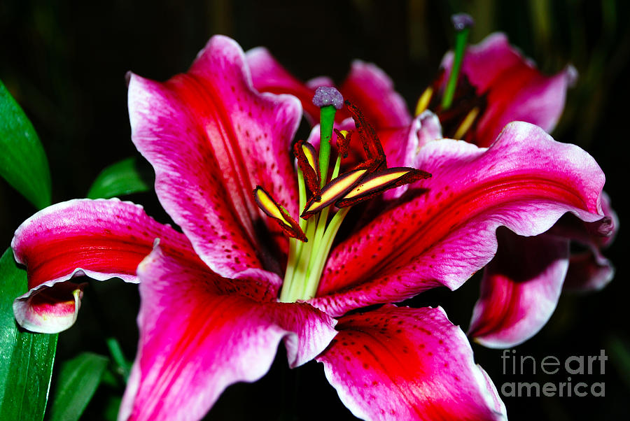 Shades Of A Lily Photograph  - Shades Of A Lily Fine Art Print