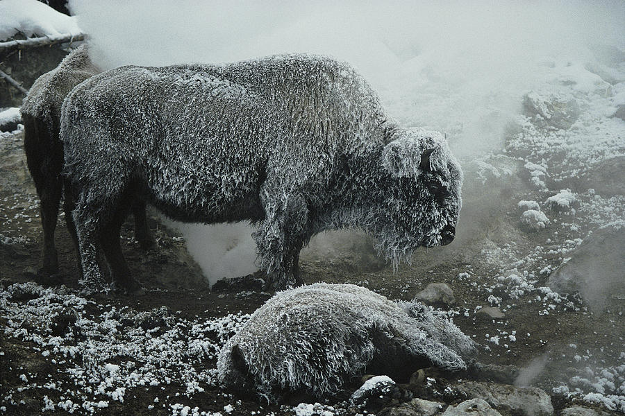 Shaggy With Rime, An American Bison Photograph  - Shaggy With Rime, An American Bison Fine Art Print