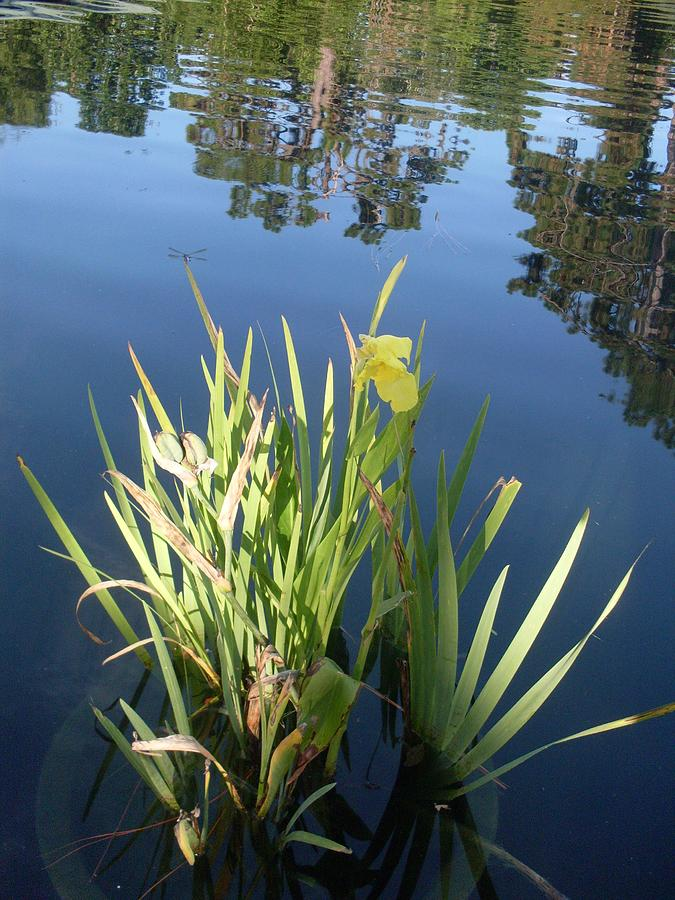 Shalom Park Yellow Canna Lily Photograph