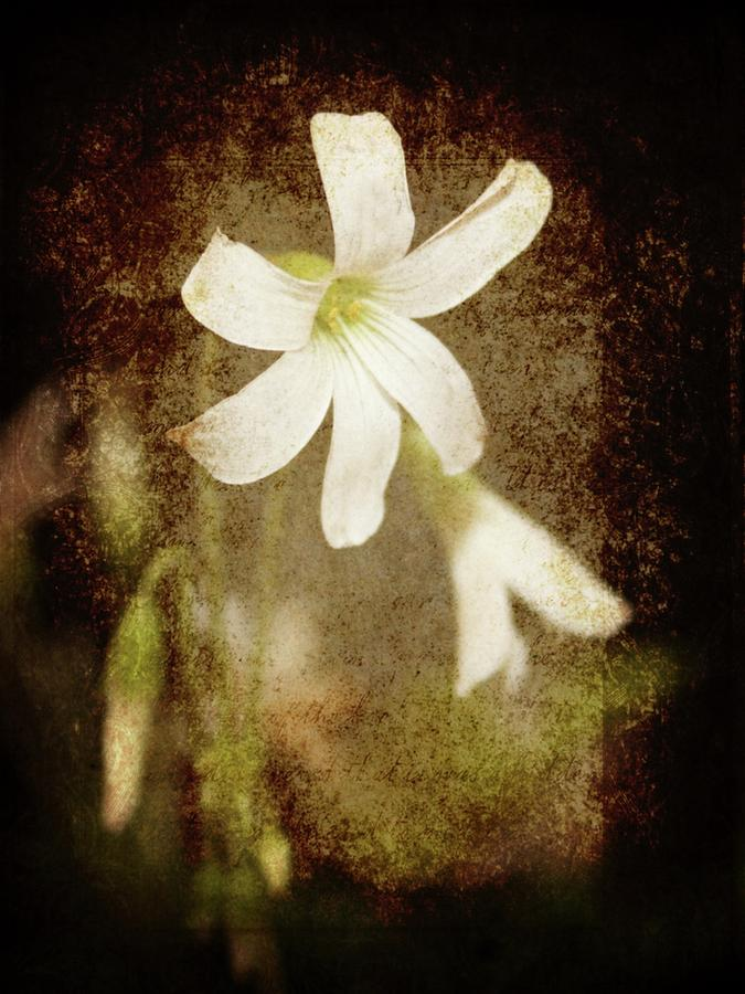 Shamrock Bloom Photograph  - Shamrock Bloom Fine Art Print