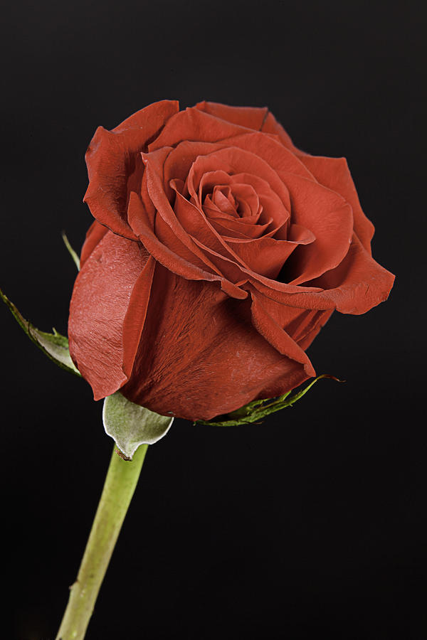 Sharp Red Rose On Black Photograph