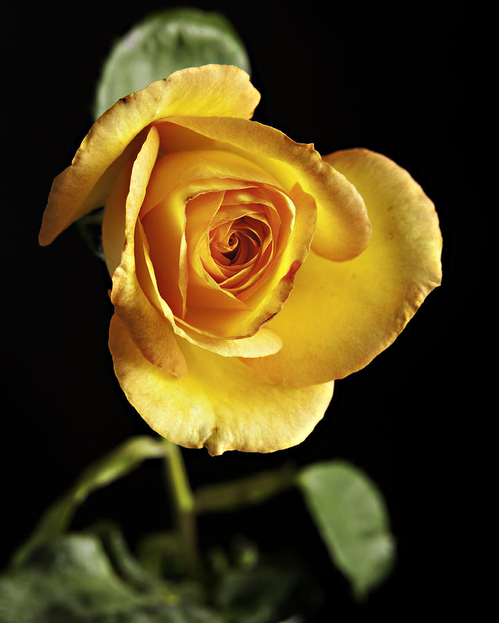 Sharp Yellow Rose On Black Photograph  - Sharp Yellow Rose On Black Fine Art Print