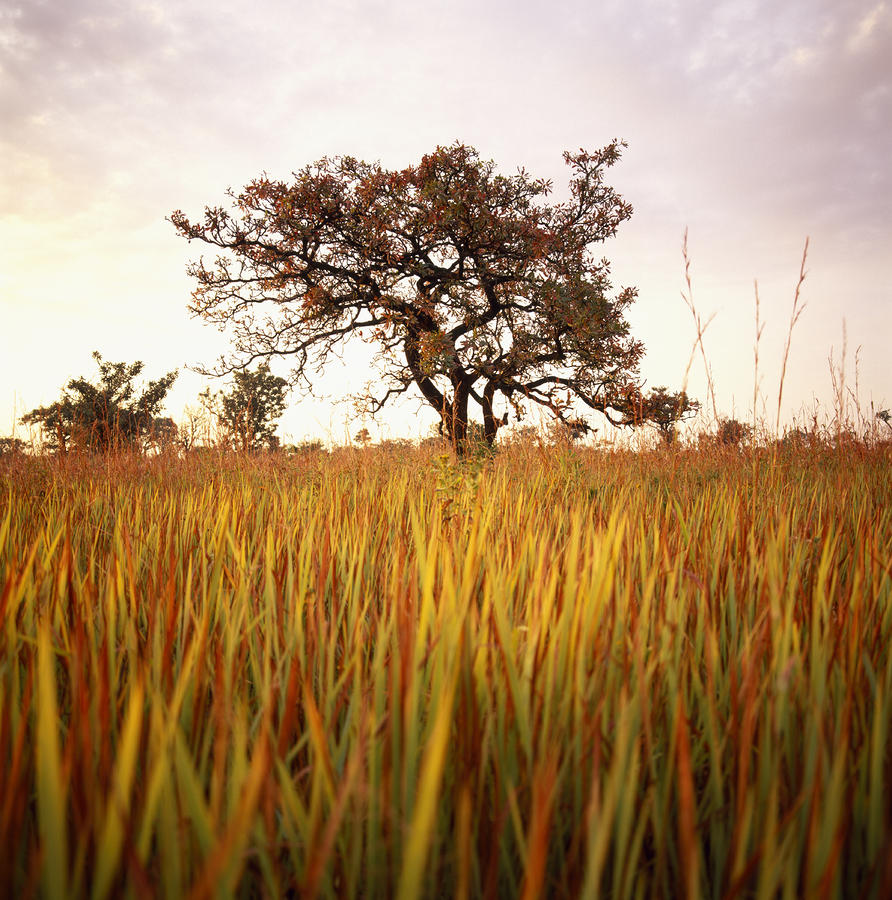 Shea Tree In Field, Near Lira, Uganda Photograph