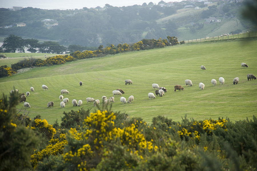 Sheep Graze On The Otago Peninsula Photograph