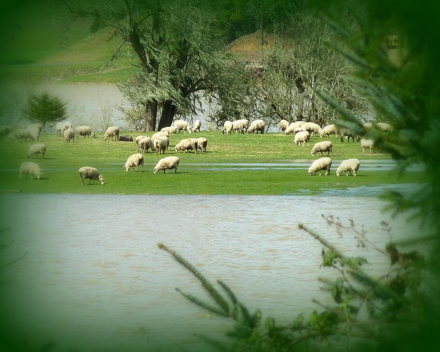 Sheep Grazing Amidst Flood Photograph