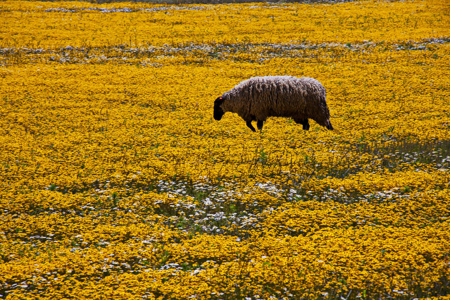 Sheep In Meadow Of Golden Flowers Photograph  - Sheep In Meadow Of Golden Flowers Fine Art Print