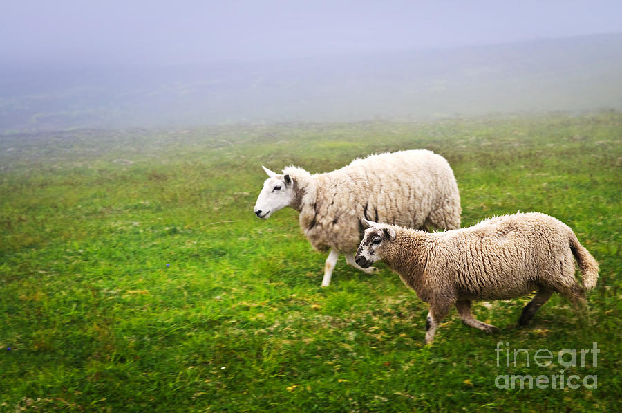 Sheep In Misty Meadow Photograph  - Sheep In Misty Meadow Fine Art Print