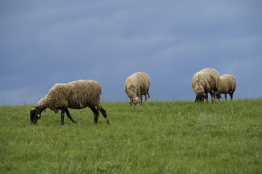Sheep Photograph - Sheep by Pan Orsatti