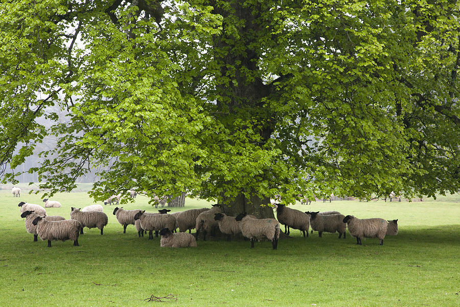 Sheep Standing Under A Tree is a photograph by John Short which was ...