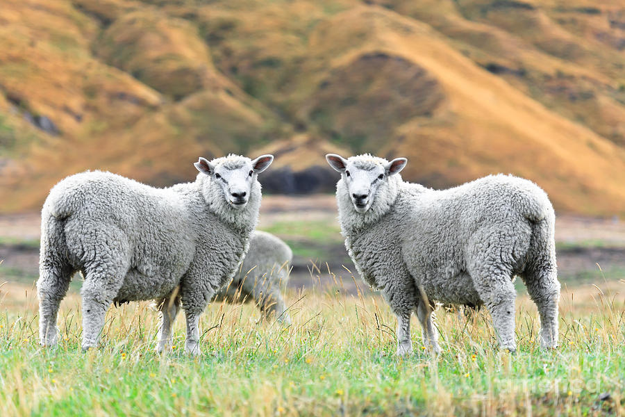 Sheeps Photograph
