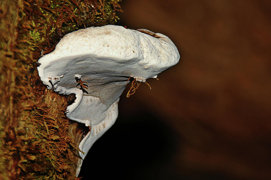 Shelf Fungus On Bark - Quinault Temperate Rain Forest - Olympic Peninsula Wa Photograph