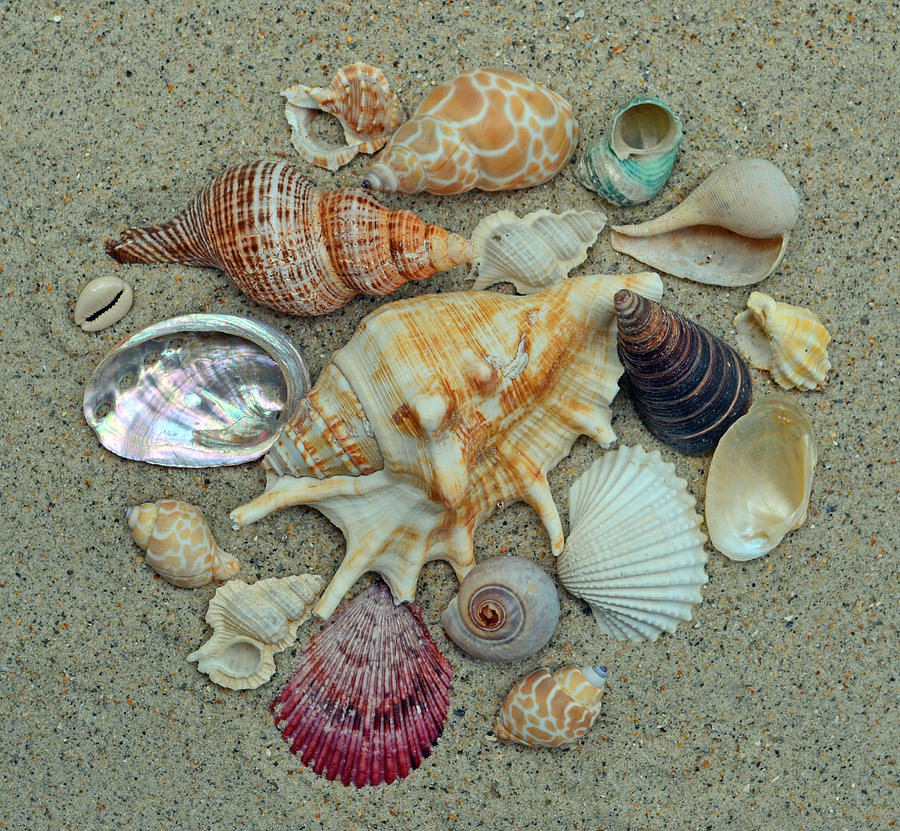 Shells Photograph - Shell Collection 2 by Sandi OReilly