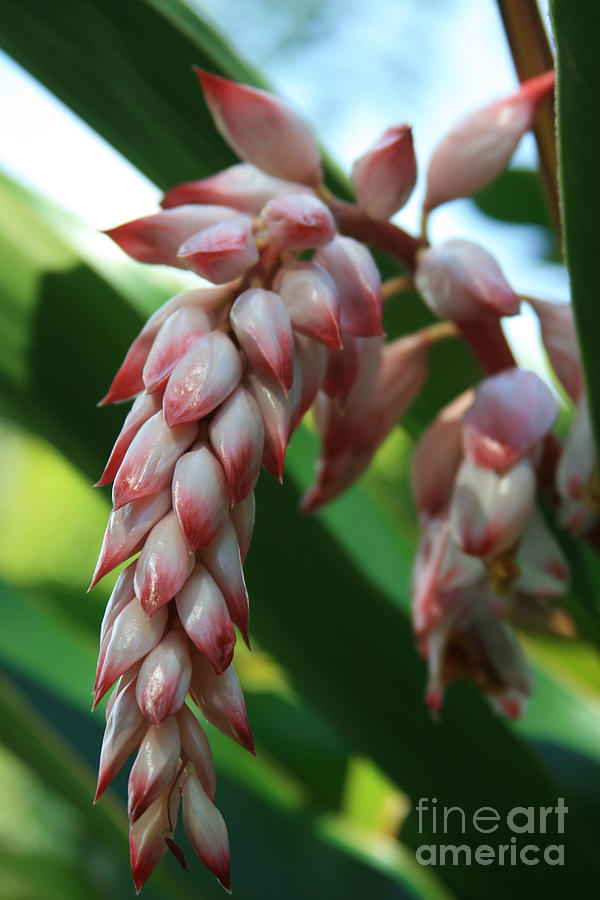 Shell Ginger Alpinia Zerumbet Tropical Flowers Of Hawaii Photograph  - Shell Ginger Alpinia Zerumbet Tropical Flowers Of Hawaii Fine Art Print