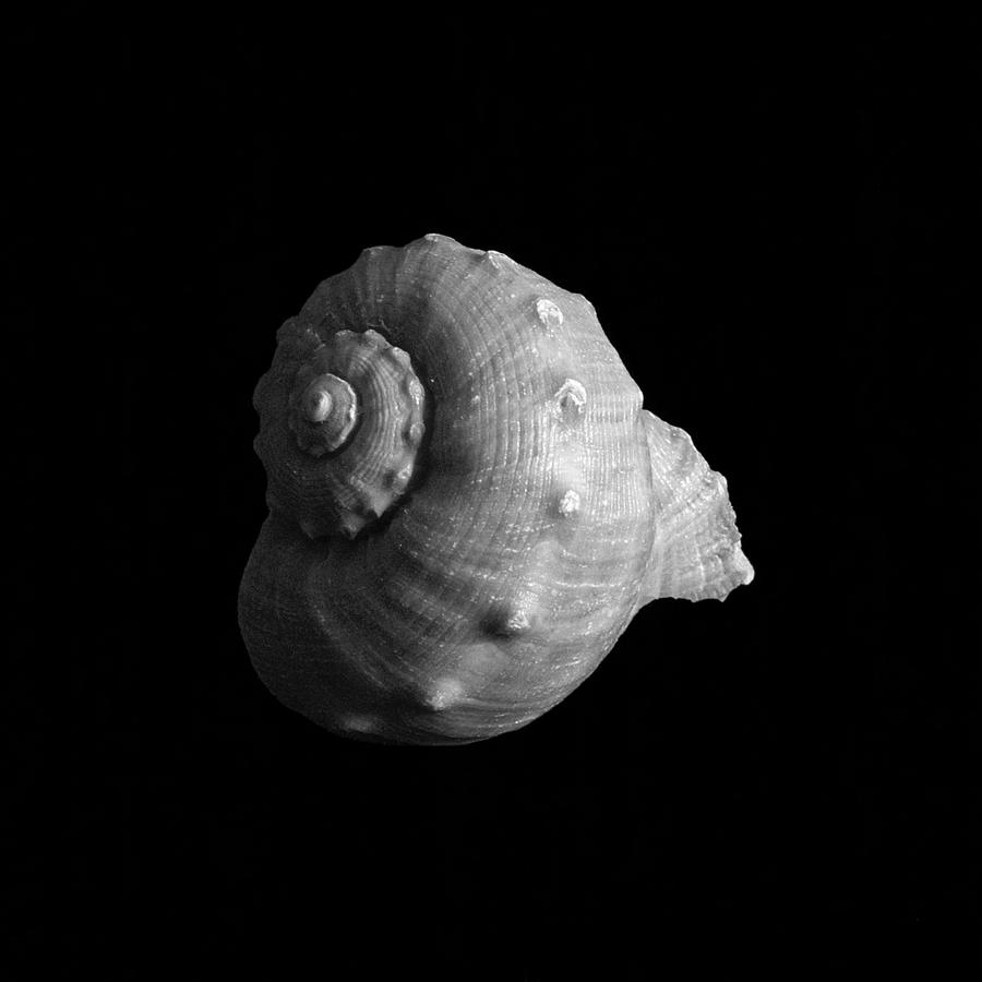 Shell No. 1 Photograph  - Shell No. 1 Fine Art Print