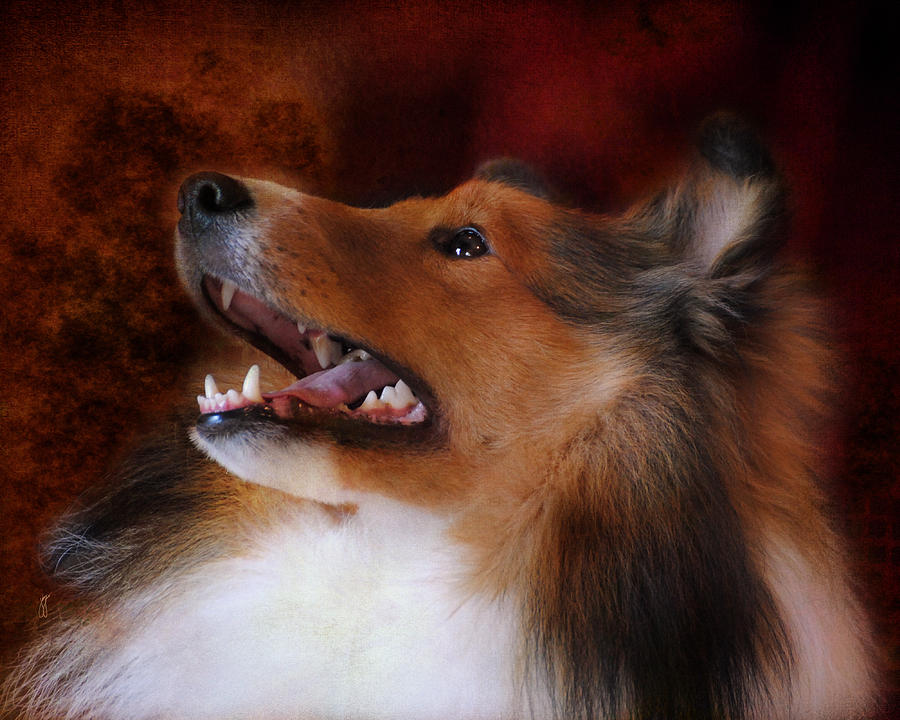 Sheltie II Photograph  - Sheltie II Fine Art Print