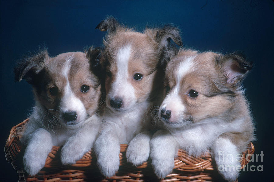 Nature Photograph - Sheltie Puppies by Photo Researchers, Inc.