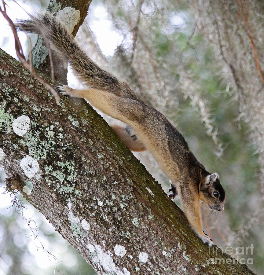 Shermans Fox Squirrel Photograph  - Shermans Fox Squirrel Fine Art Print