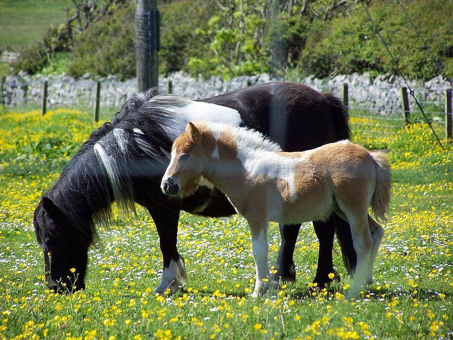 Shetland Ponies Photograph