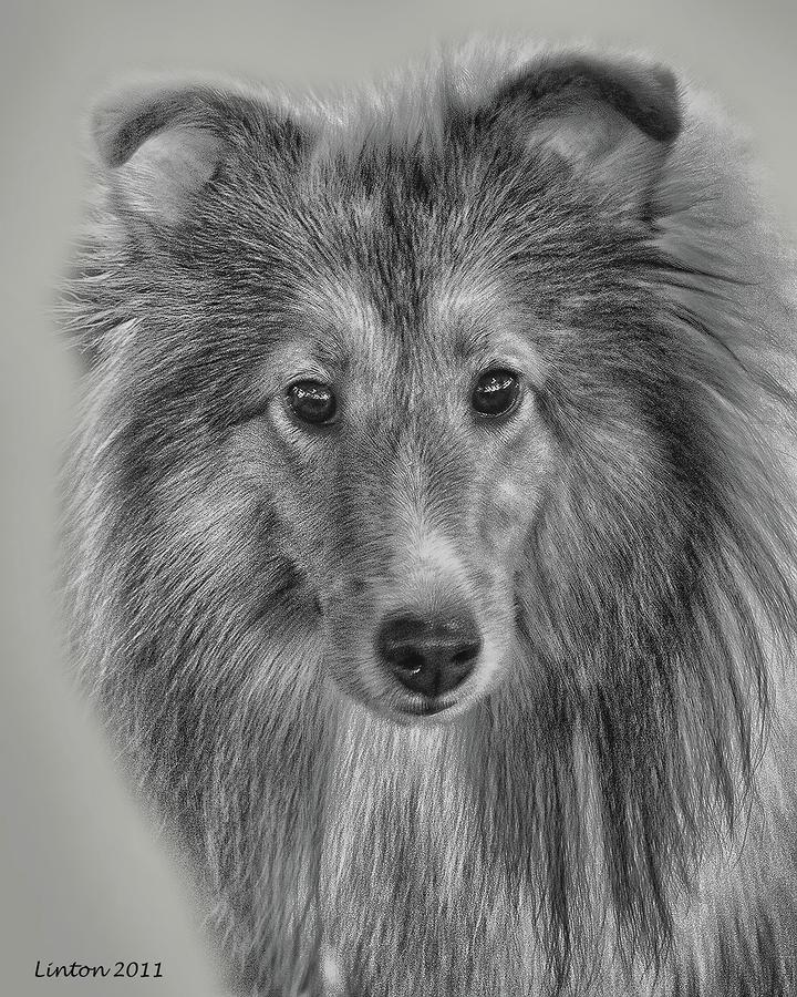 Shetland Sheepdog Digital Art