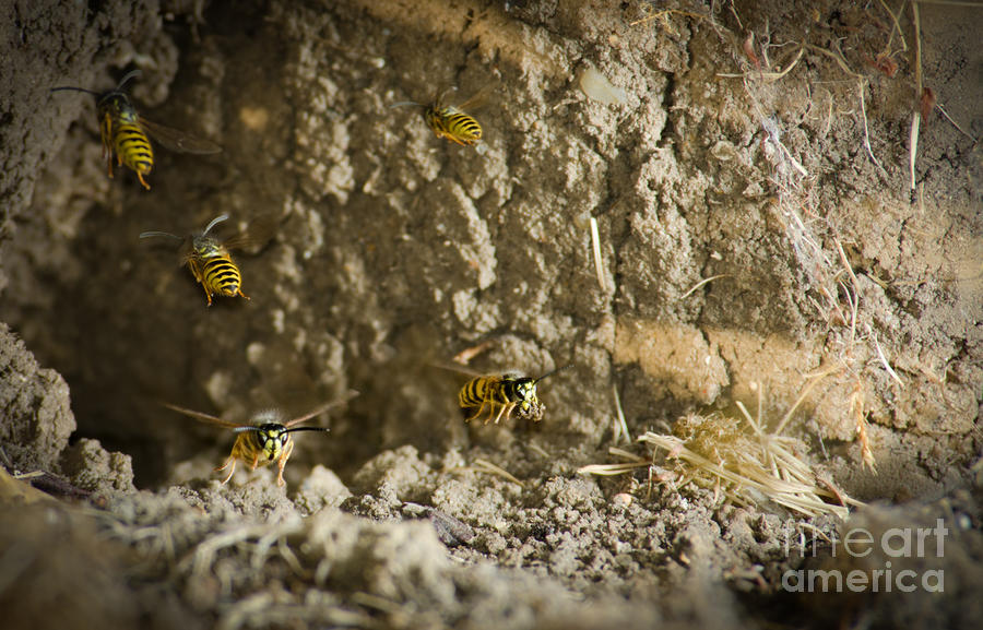 Shift Change Yellow-jacket Wasps Flying Out To Forage As Others Return To The Nest Photograph  - Shift Change Yellow-jacket Wasps Flying Out To Forage As Others Return To The Nest Fine Art Print