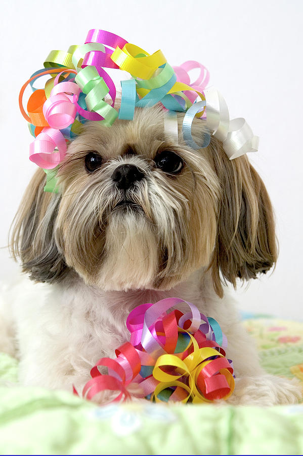 Shih Tzu Dog Photograph