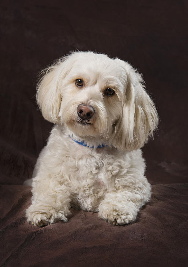 Shih Tzu-poodle On A Brown Muslin Photograph