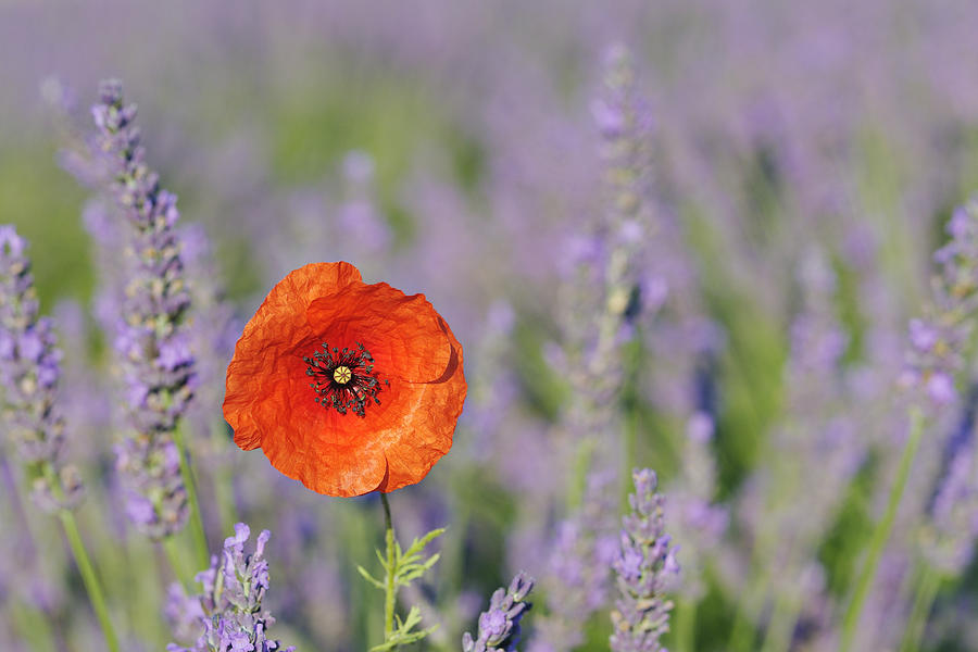 Shirley Poppy In English Lavender Field, Valensole, Valensole Plateau, Alpes-de-haute-provence, Provence-alpes-cote D Azur, Provence, France Photograph