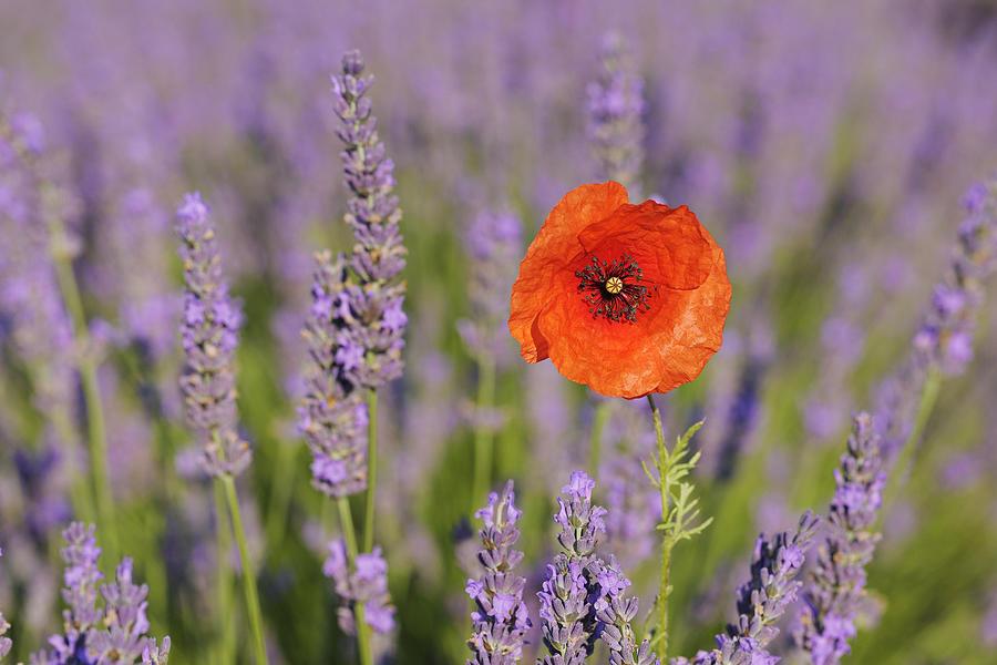 Shirley Poppy In English Lavender, Valensole, Valensole Plateau, Alpes-de-haute-provence, Provence-alpes-cote D Azur, Provence, France Photograph