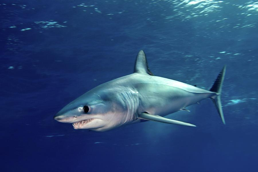 Shortfin Mako Sharks Photograph  - Shortfin Mako Sharks Fine Art Print
