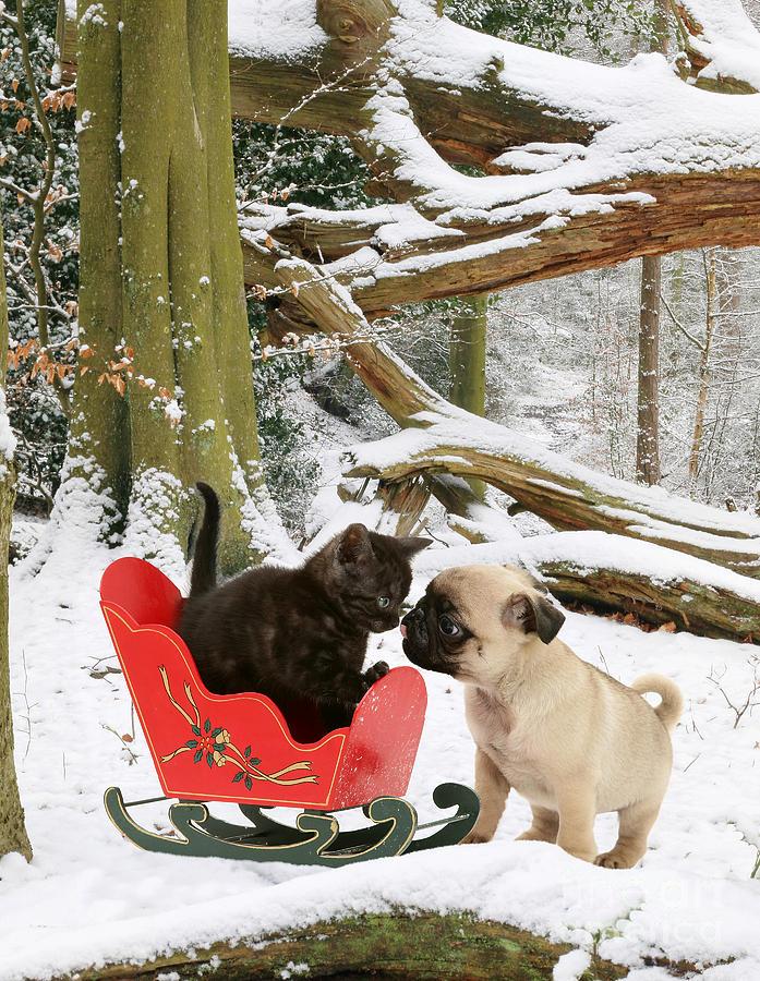 Shorthair Kitten And Pug Photograph