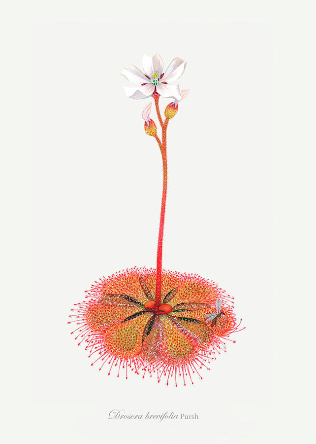 Shortleaf Sundew Painting  - Shortleaf Sundew Fine Art Print