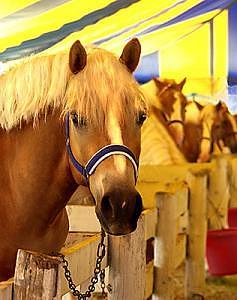 Show Pony Tent- Haflinger Horses Photograph