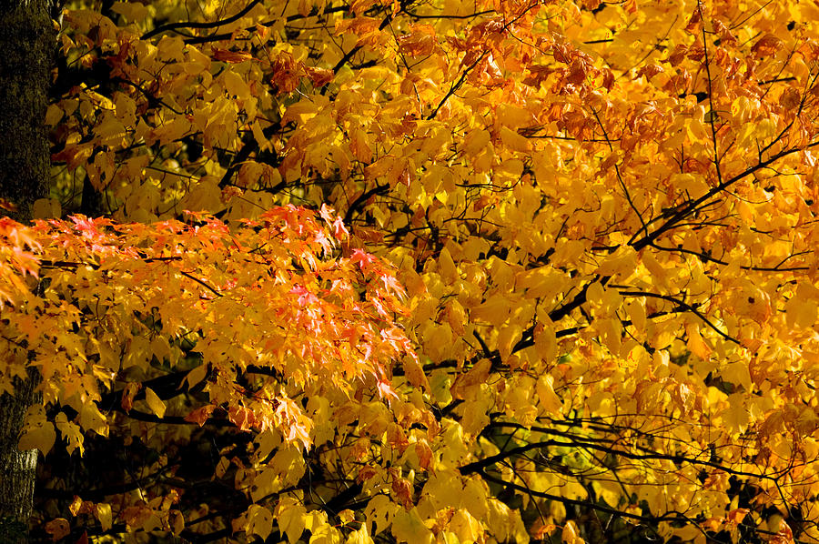 Yellow Leaves Photograph - Showing Off by Rich Franco