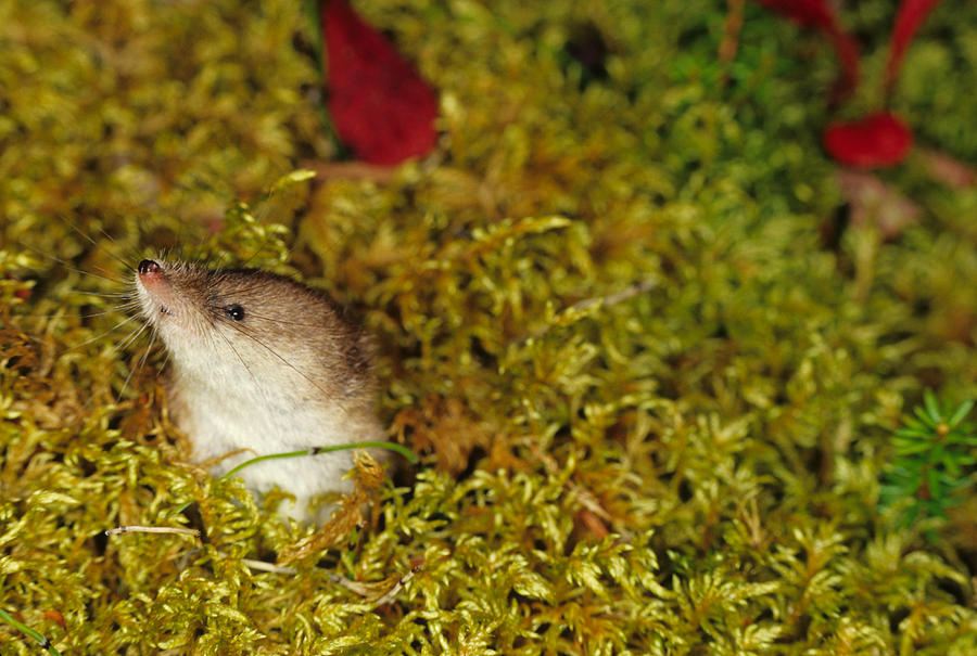 Shrew Pokes Head Out Of Tundra Photograph