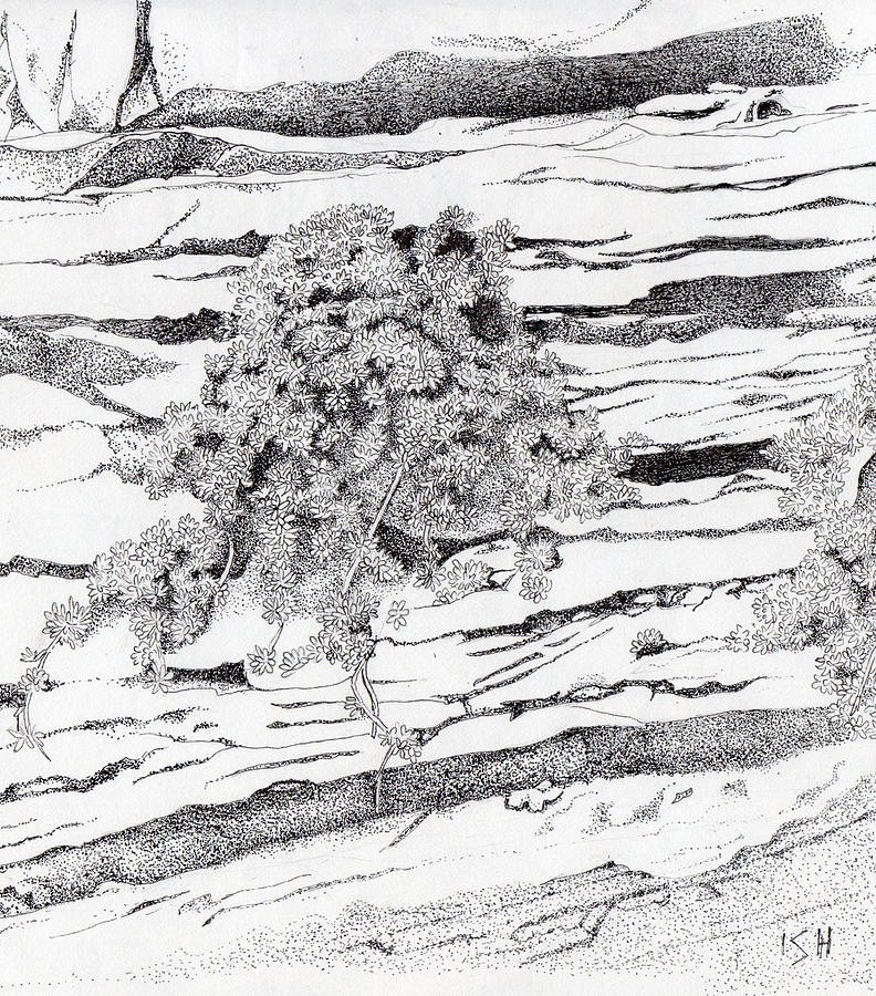 Shrub In Sedimentary Rock Drawing  - Shrub In Sedimentary Rock Fine Art Print