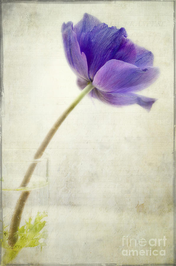 Still Life With Anemone And Added Textures.  Photograph - Shy Anemone by Marion Galt