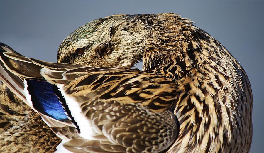 Duck Photograph - Shy by Paulette Thomas
