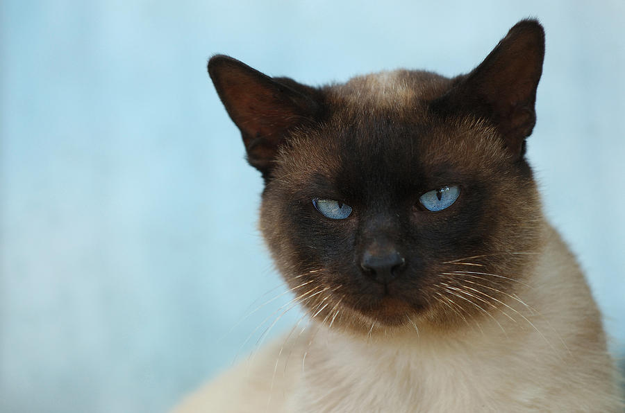 Siamese Cat Photograph