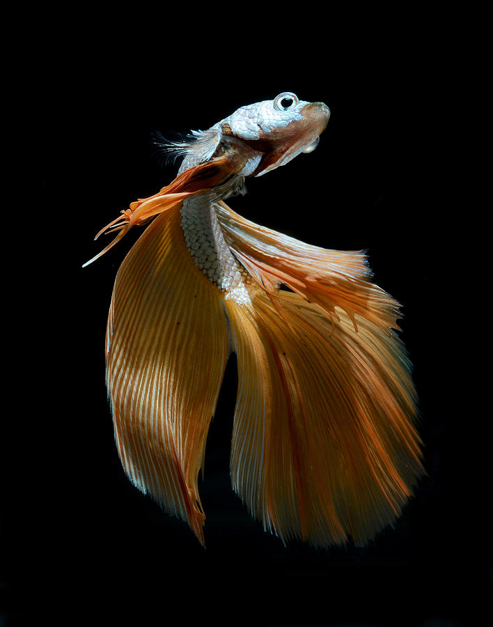 Siamese Fighting Fish Photograph  - Siamese Fighting Fish Fine Art Print