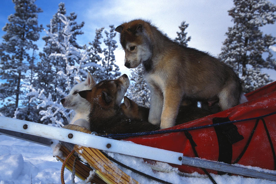 Siberian Husky Puppies Play On A Snow Photograph
